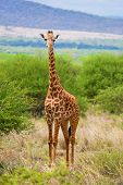 Giraffe standing on grassland savanna. Safari in Tsavo West, Kenya, Africa