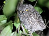 image of screech-owl  - A fledgling Western Screech-Owl perched on a branch at night in Eastern Washington ** Note: Shallow depth of field - JPG