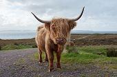 stock photo of sea cow  - A cow in Scotland on sea shore - JPG