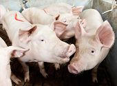 foto of pig-breeding  - young piglet in shed at pig - JPG