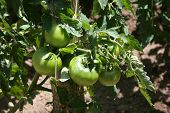 stock photo of gleaning  - cultivation of green tomatoes - JPG