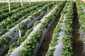stock photo of gleaning  - cultivation of strawberries - JPG