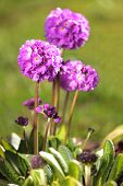 picture of primrose  - Drumstick primrose on a green lawn - JPG