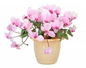 Flower of blooming pink cyclamen in pot