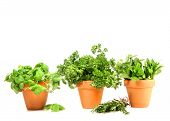 stock photo of potted plants  - Clay pots with herbs on white background - JPG