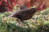 blackbird (merula Turdus) looking for food in a garden