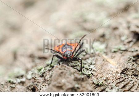 Shield Bug Or Stink Bug Insect Macro