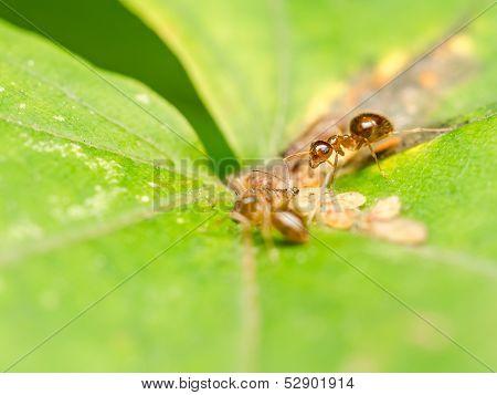Brown Ants Feeding On Honeydew
