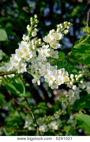 Blossom Bird Cherry Tree Branch