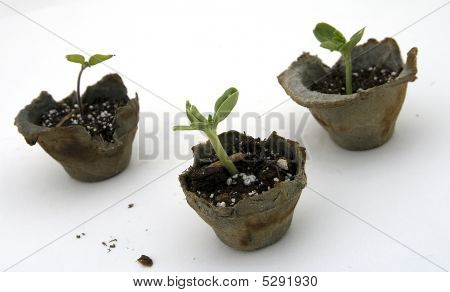 Blackberry, Tomato, Watermelon Seedlings