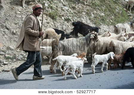 Himalayan Shepherd Leads His Goat And Sheep Flock