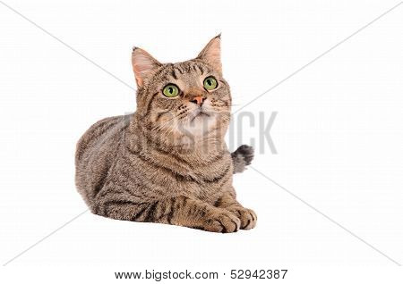 Bright Green Eyed Tabby Cat On White Background