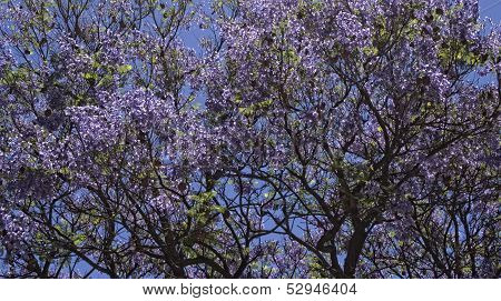 Jacaranda Tree Background