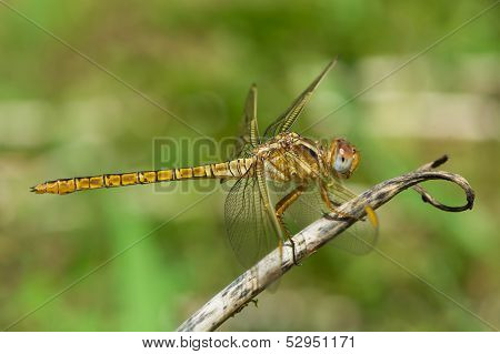 Female Scarlet Dragonfly perched on a stem