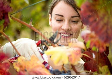 Smiling vintner harvesting a bunch of grapes in vineyard