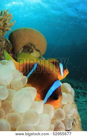 Pair of Red Sea Anemonefish in a Bubble Anemone