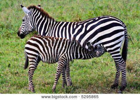 Mother Zebra Nursing Her Foal