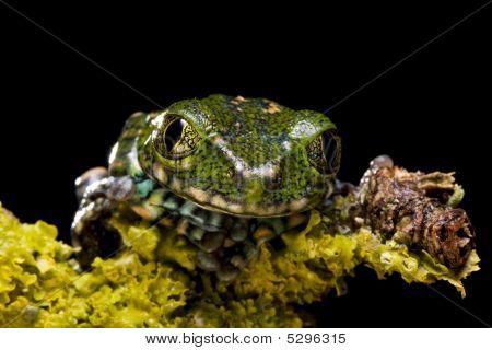 Peacock Tree Frog