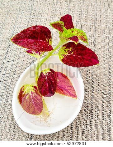 A New Coleus Plant With Roots In A Bowl With Water.