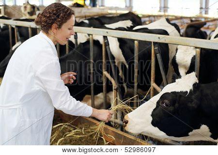 Happy young woman in white robe gives hay to cow at large farm.