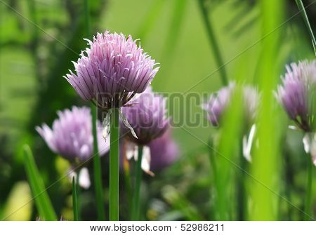 Chive flowers in garden