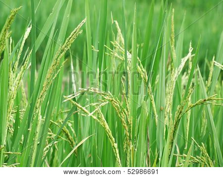 Rice ripening in the field