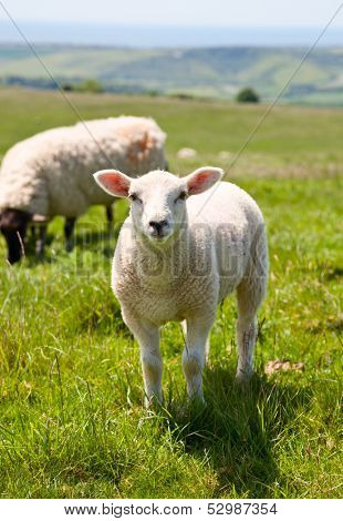 Sheeps at a pasture in England