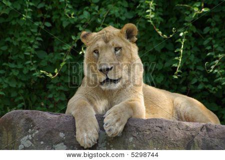 Lion Lady On A Bole