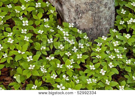 Bunchberry Flowers Cornus Canadensis At Taiga Tree