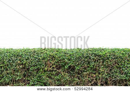 Bushes Fence