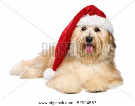 Cute Reddish Lying Christmas Havanese Puppy Dog With A Santa Hat