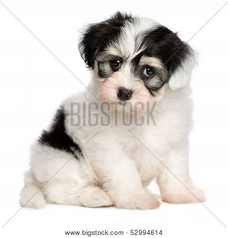 A Beautiful Sitting White Spotted Havanese Puppy Dog