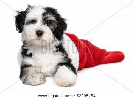 Cute Havanese Puppy Dog Is Lying In A Santa Boots