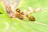 Ants Eating Aphids Honeydew Drop
