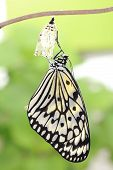 image of chrysalis  - amazing moment about butterfly change form chrysalis - JPG