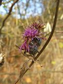 foto of scottish thistle  - thistle flower in autumn - JPG