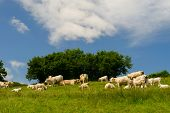 image of charolais  - White Charolais cows in French landscape - JPG