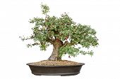 foto of bonsai tree  - Bonsai tree with white background - JPG