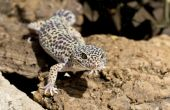 pic of gekko  - Gecko on some bark on the sand