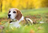 image of puppy beagle  - Beagle dog portrait on sunshine background in nature - JPG