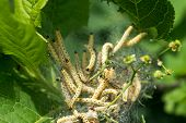 stock photo of ermine  - Caterpillar colony on green tree. Agriculture pest Yponomeuta malinellus (Apple Ermine Moth).