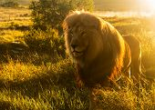 Old Male Lion In The Grass In Southern Africa