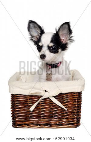 Chihuahua dog is sitting in a basket. Isolated on a white background.