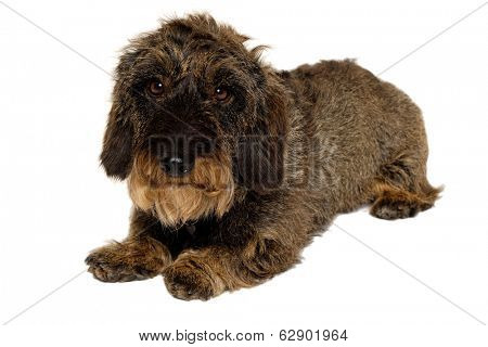 Dachshund dog isolated on a clean white background