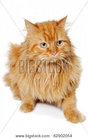 Red cat is resting. Isolated on a clean white background.