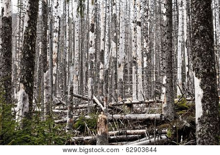 Destroyed Forest, A Lot Of Dead Trees