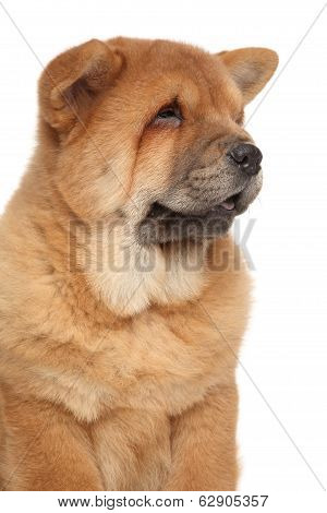 Chow Chow Puppy Close-up Portrait