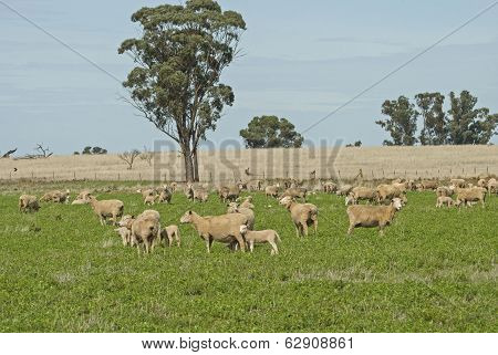 Sheep And Lambs In The Meadow