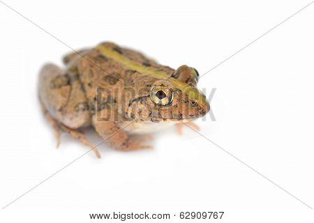 Common Jungle Frog