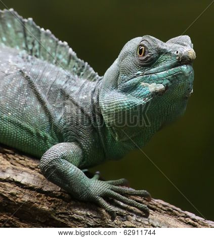 Portrait view of a Plumed basilisk